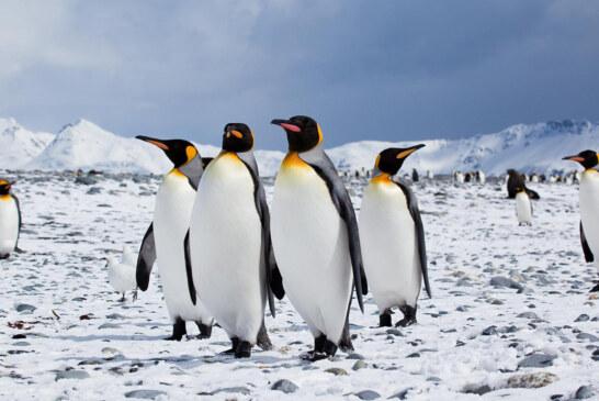 Pinguini a rischio